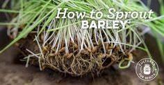 Follow our step-by-step instructions for sprouting barley for cooking, making sprouted barley flour, growing barley grass for juicing, and more!