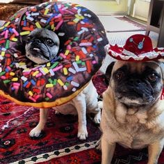 """""""So he gets a lil hat and I get a freakin' huge donut around my head?!?"""" #pug"""