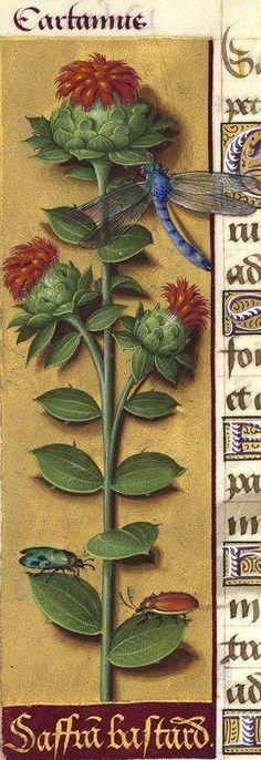 Saffran bastard - Cartamus (Carthamus tinctorius L. = carthame des teinturiers) -- Grandes Heures d'Anne de Bretagne, BNF, Ms Latin 9474, 1503-1508, f°138v