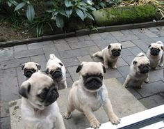Attack of the pug puppies