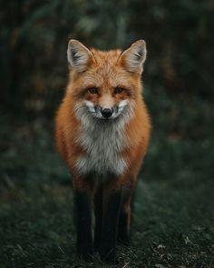 Red Fox by Jeremy Vessey