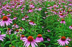 Love this native flower  The Florida state wildflower. A nectar plant for butterflies.   Flower May - October or June-September.  The flowers of Echinacea species are used to make an extremely popular herbal tea, purported to help strengthen the immune system.