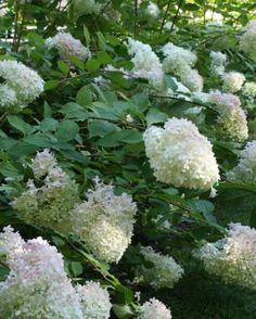 10 Drought-tolerant Shrubs | Fine Gardening -  Hydrangea paniculata 'Limelight' Photo by Kerry Moore