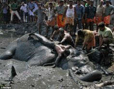 Village's sad farewell to elephant named after Hindu deity after six-hour battle to rescue it from Indian marsh ends in tragedy