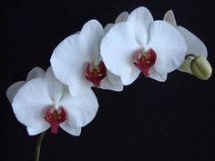 Phalaenopsis Redlip