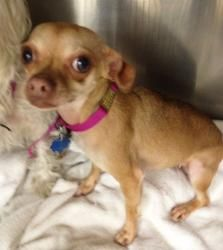 Gina is an adoptable Chihuahua Dog in Lambertville, NJ. GINA is a 3 year-old and 5 pound female tan colored Chihuahua who came into the shelter with a Maltese named JORDAN. This twosome does not have ...