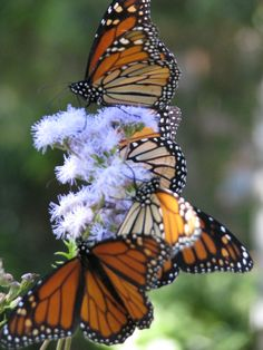 Monarch Butterflies Migration: Photos and Videos