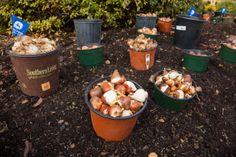 Bulb, Planting, Dallas Arboretum, Spring Perennial, Garden