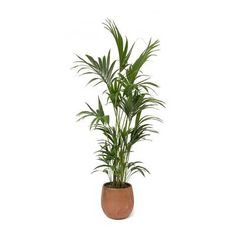 Howea forsteriana - Kentia Palm - 27 x Indoor Plant Pots, Potted Plants, Faux Plants, Succulent Plants, Kentia Palm, Indoor Palms, Living Room Plants, Tall Planters, Liquid Fertilizer