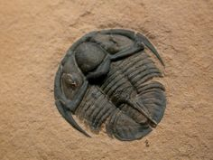 Genevievella granulatus from Trilobite Order Ptychopariida, Family Llanoaspididae, collected in the Cambrian Weeks Formation of Utah. One of my favorite trilobites.