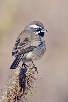 Sparrow, Black-throated Alan D. Wilson - Borrego Springs, California