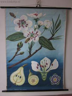 Oude botanische poster