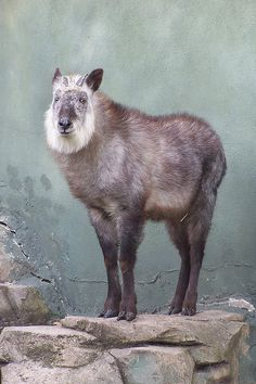 The Japanese Serow. Looks like something out of Princess Mononoke, which is appropriate.