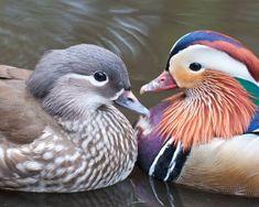 Pictures of Birds: Exotic Wildfowl: Mandarin Ducks: