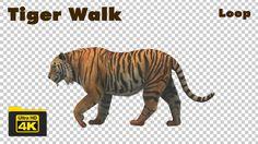 Tiger Walking 4K Animation