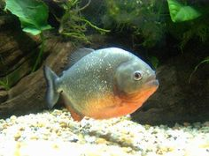 The red belly pacu grows to a huge size of more than two feet, representing the very outer limit of how big a fish you can keep in a home aquarium. They strongly resemble their close relatives, the ...