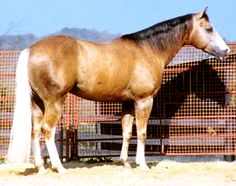Chex Nu Jewel - a palomino Quarter Horse, has most of his sooty coloration concentrated in his mane
