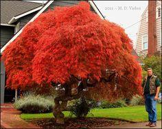 Japanese maple tree pruning in Portland, Oregon Red Maple Tree Leaf, Red Maple Bonsai, Maple Tree Seeds, Chinese Wisteria, Wisteria Tree, Japanese Red Maple, Japanese Tree, Deciduous Trees, Flowering Trees