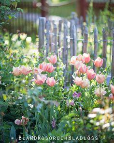 Bland rosor och bladlöss