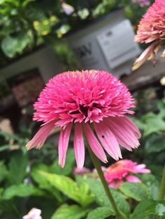 We love #echinacea :) #butterflykisses a easy to grow and nice to show double pink echinacea #longblooming #gardens #pathwaystoperennials