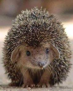 Animals And Pets, Baby Animals, Cute Animals, Wild Animals, Animal Species, Forest Animals, Animal Party, Tasmania, Brown Bear