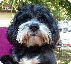 Tampa, FL - Tibetan Terrier Mix. Meet Pearl, a dog for adoption. http://www.adoptapet.com/pet/15419194-tampa-florida-tibetan-terrier-mix