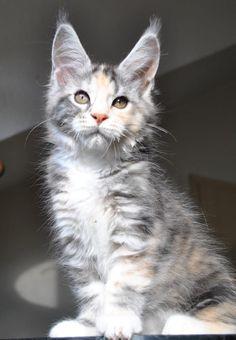 Gigantisches Maine Coon Kitten mit Stammbaum (Engelsbrand) - Sonstige Maine Coon…