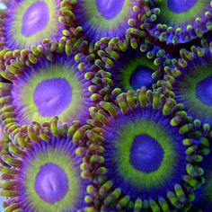 Zoanthid, coral reef creature
