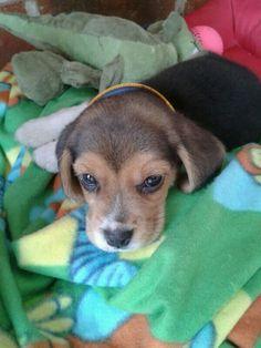 ♥️Taco♥️... my beagle puppy