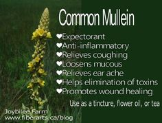 The benefits of mullein