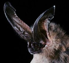 Long-Eared Bat - Big Ears Come in Handy
