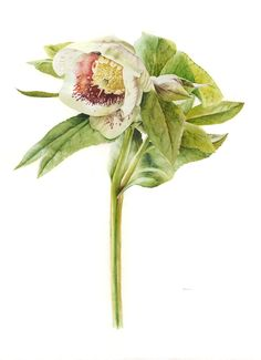 "56 x 76 cm unframed<br/> Helleborus orientalis ""White Lady Spotted"""