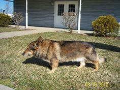 Corgi German shepherd mix characteristics, appearance and pictures Corgi Cross Breeds, Corgi German Shepherd, Corgi Mix, Puppies, Dogs, Pictures, Image, Photos, Cubs