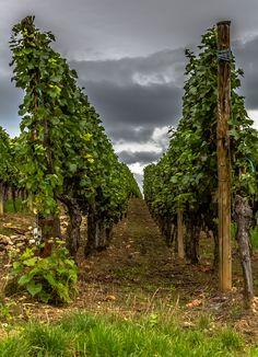 Alsace Vineyards by Europe Trotter (Kientzheim, France)