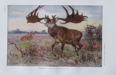 Giant Deer - high resolution image from old book.Size in pixels: Fly Paper, Animal Puzzle, Puzzle Of The Day, Printable Art, Mammals, Jigsaw Puzzles, Deer, Moose Art, Royalty