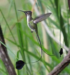 Spatuletail Hummingbird Peru   spatuletail hummingbird