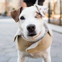 "Jack, Jack Russell Terrier (13 y/o), Madison Square Park, New York, NY • ""His name is 'One eyed Jack'. He ruptured his eye due to high blood pressure. We both have high blood pressure and take our..."