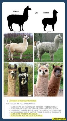 Llama vs. Alpaca… Someone asked me about this today and I didn't know but then BAM... I came upon this and was amazed!!!!!!