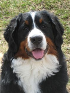 Reminds me of my Bernese Mountain Dog, Sissy. Big Dogs, Large Dogs, I Love Dogs, Cute Dogs, Dogs And Puppies, Doggies, Beautiful Dogs, Animals Beautiful, Bernese Dog