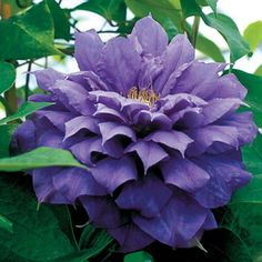 Franziska Marie® Clematis Plant. Purple.  Repeat bloom.  Blooms in early Summer & early Fall.  Full sun, Zones 4-9  6-7' Tall x 3-4' Wide  Available at Wayside Gardens for $27.95.