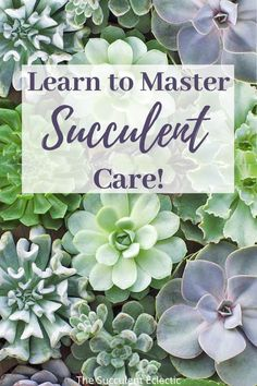 Learn all the elements of succulent care, from watering, lighting, best soil and more. Learn why succulents change color and how to make them more colorful. You'll learn to grow succulents like a pro!  #succulents #succulentcare
