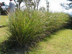 Vetiver-grass