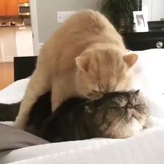 Funny Cats and Kittens Meowing video Funny Fat Animals, Fat Cats Funny, Funny Animal Memes, Funny Cat Videos, Funny Animal Pictures, Cat Memes, Cute Baby Animals, Funny Dogs, Kittens And Puppies