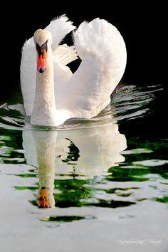 Stillhet Swan, Birds, Animals, Swans, Animales, Animaux, Bird, Animal, Animais