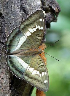 Tibet green butterfly (Vanessa narrow green) by Jeff Lin