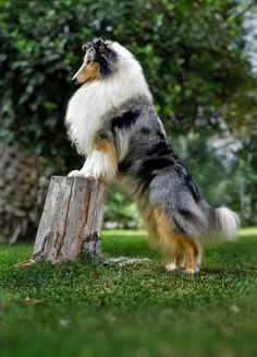 ♥This dog reminds me of Sable!  A gift I gave my father many, many years ago & a beautiful dog!