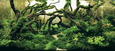planted driftwood tank | 2012 International Aquatic Plants Layout Contest