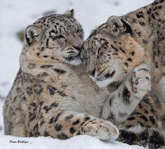 https://www.facebook.com/snowleopard.org/photos/a.337479951912.183327.77272446912/10153787034351913/?type=3