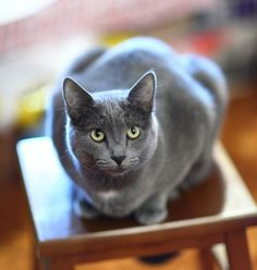 Best Cat Breeds for Families: RUSSIAN BLUE | They're reserved cats but very loving. Their reserved nature makes them shy around strangers but when they're around people that they know, they love to be part of the activities. They also love to sleep w/ their family members, which is just 1 aspect of their loving nature.