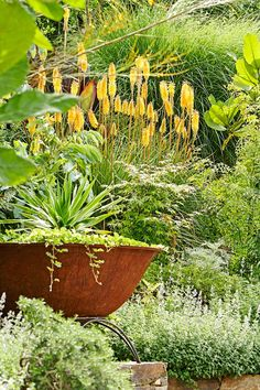 The amazing flowering yellow torches of Kniphofia 'James Nottle' stand out against a sea of green.